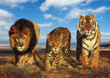 http://www.dcanimals.org/lion-leopard-tiger-wild-big-cats-poster.jpg